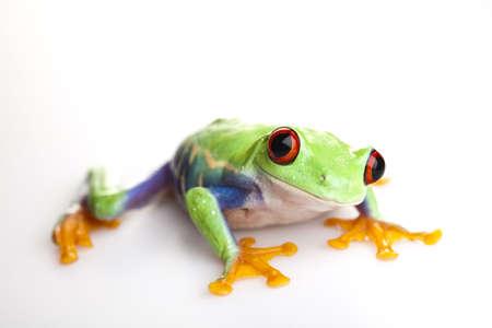 blue frog: Red eyed rana