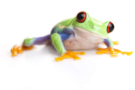 blue frog: Red eyed tree frog