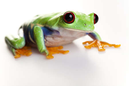 red eyed: Frog - small animal red eyed