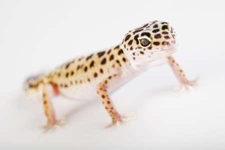 Small gecko reptile lizard Stock Photo - 7369935