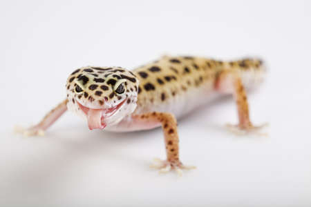 Young Leopard gecko a white background  photo