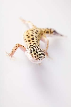 Young Leopard gecko a white background Stock Photo - 7369926