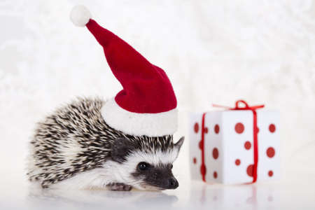 Hedgehog christmas photo