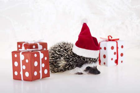 Hedgehog christmas photo