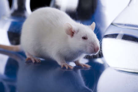 Laboratory rat Stock Photo - 8564524