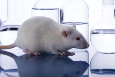 Laboratory rat photo