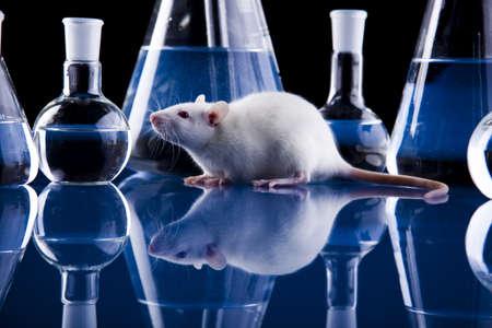 rata: Ratas de laboratorio Foto de archivo