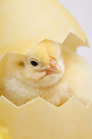 animalitos tiernos: Chick y huevo