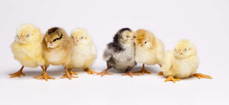 Chicks photo