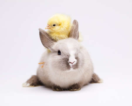 Happy Easter. Chickens in bunny photo