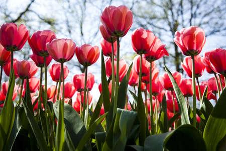 Tulips Stock Photo - 9966897