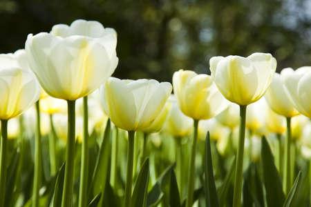 Beautiful spring tulip photo