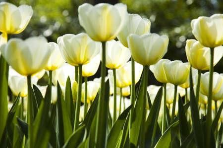 Mixed tulips photo