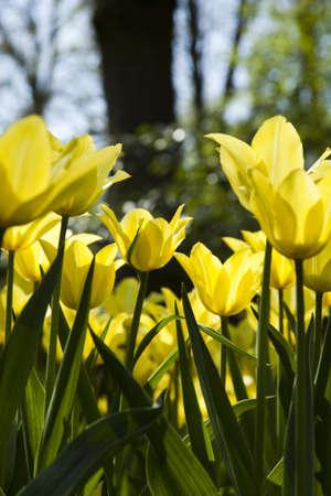 Yellow tulip photo