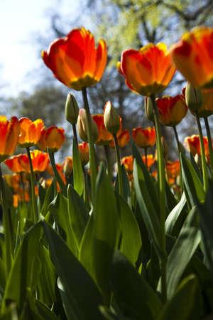 Closeup of Tulip  photo