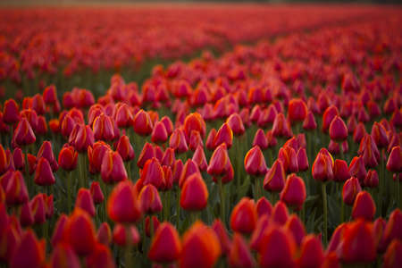 Red tulips background photo