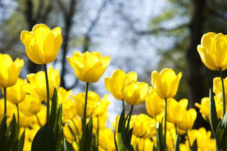 Garden of tulips photo