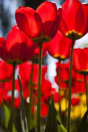 Tulips Stock Photo - 9952506