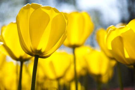 Beautiful spring tulip Stock Photo - 9951569