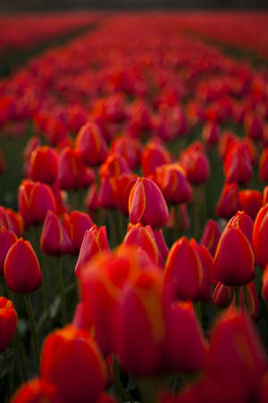 Field of red tulips photo
