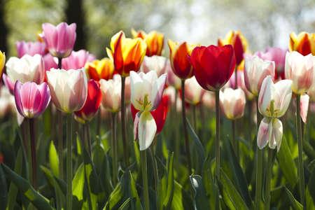 Multi colored tulips photo