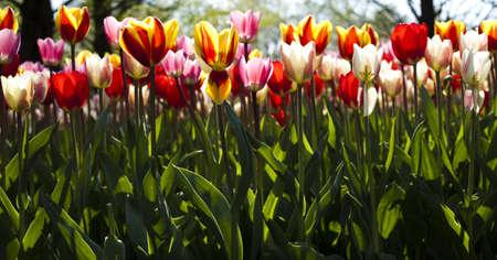 Fresh Beautiful Tulips photo