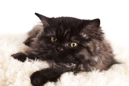 felis silvestris catus: Little kitten