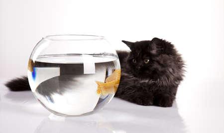 felis silvestris catus: Cat and fish