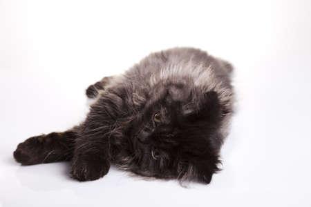 felis silvestris catus: Sleepy cat