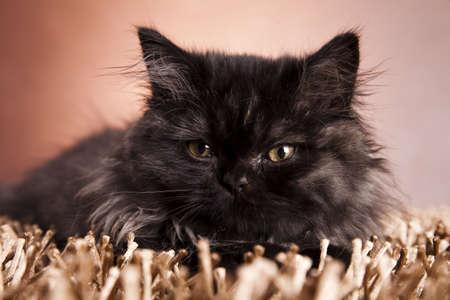 felis silvestris catus: Cat