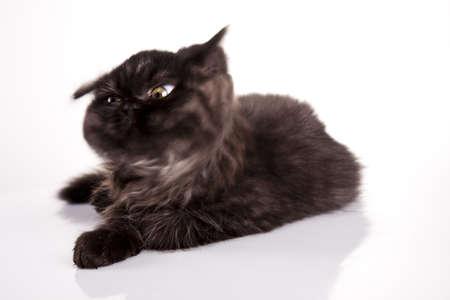 felis silvestris catus: Happy cat