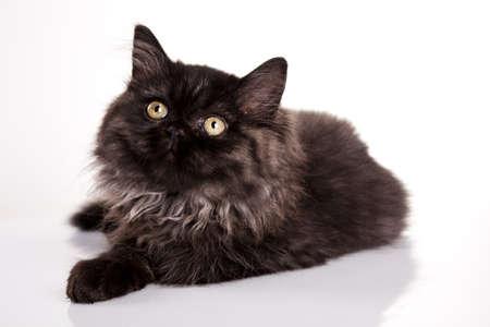 felis silvestris catus: Kitty