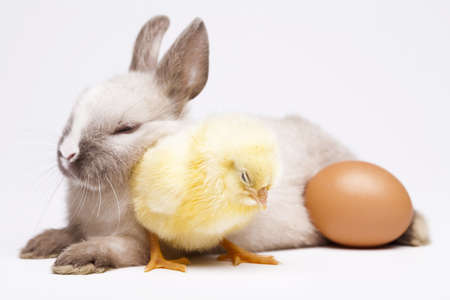Happy Easter, Chickens in bunny photo