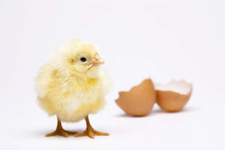 Young Chick Stock Photo - 10494314