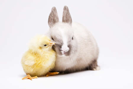 Little chick on rabbit on white