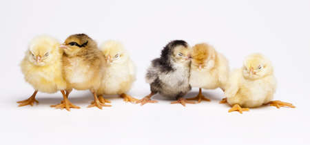 Cute little chicks photo