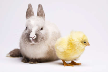 Little chick on rabbit on white Stock Photo - 10494418