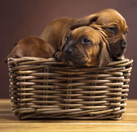 Puppies, wicker basket  photo
