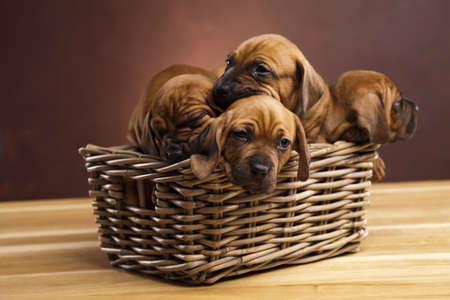 子犬、枝編み細工品バスケット 写真素材