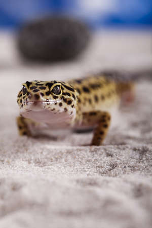 Leopard gecko photo