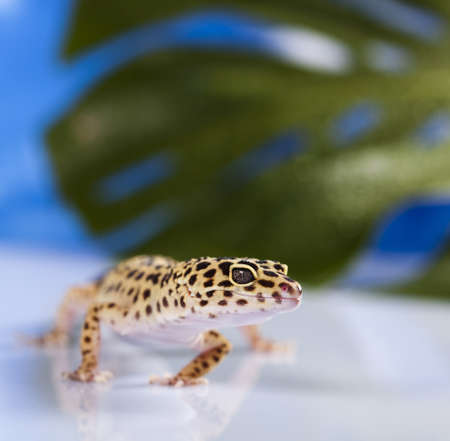 Young Leopard gecko photo