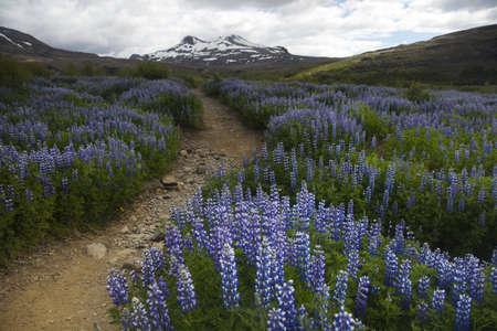 Iceland flowers  photo