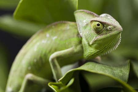 chameleon lizard: Chameleon on the leaf Stock Photo