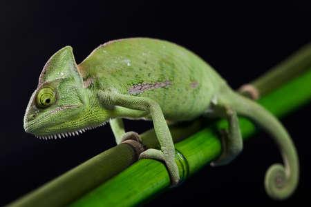 stereoscopic: Green chameleon