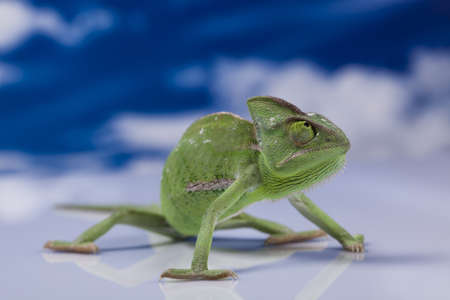 Chameleon on the blue sky Stock Photo - 12140809