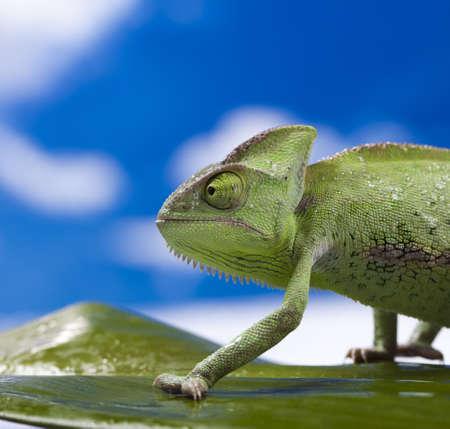 Chameleon on the blue sky Stock Photo - 12140656