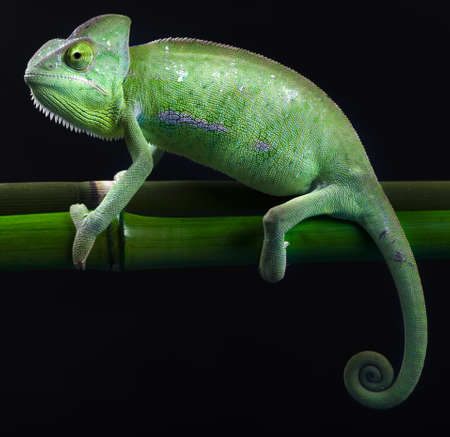 Green animal, Chameleon photo