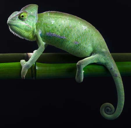 stereoscopic: Green animal, Chameleon Stock Photo