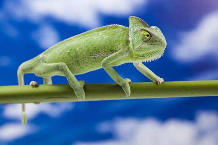 Chameleon on the blue sky Stock Photo - 12141019