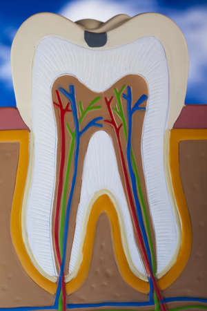 clean arteries: Tooth Stock Photo